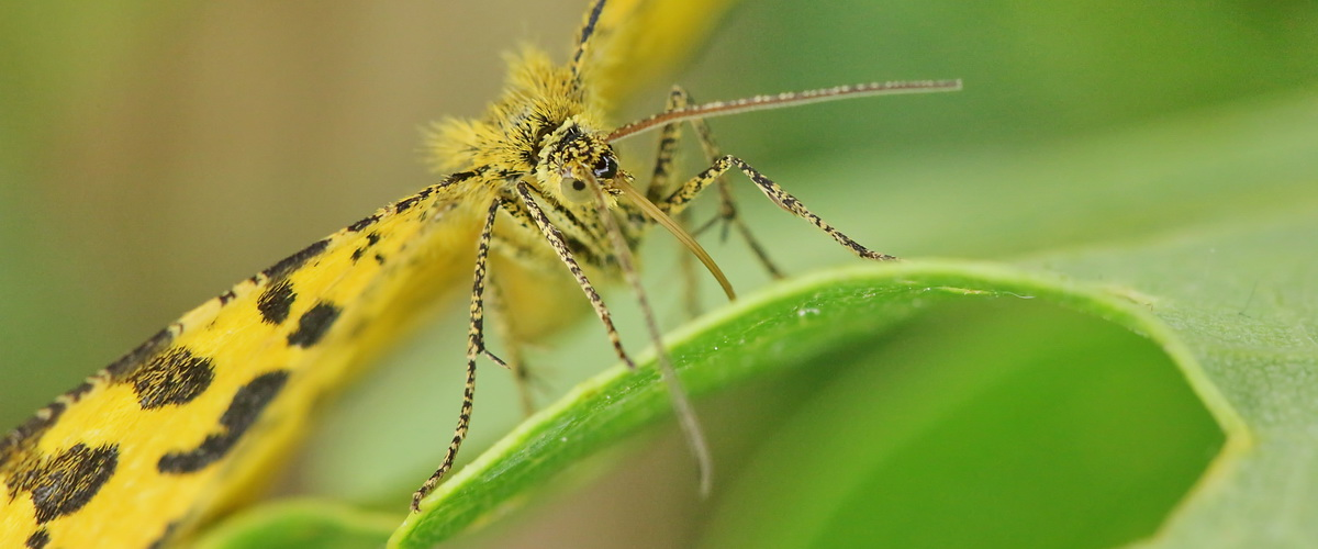 Slider Pseudopanthera macularia